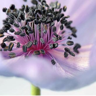 natural perfume oils | Ambosia | flower | Verissima Natural Skincare | Australia